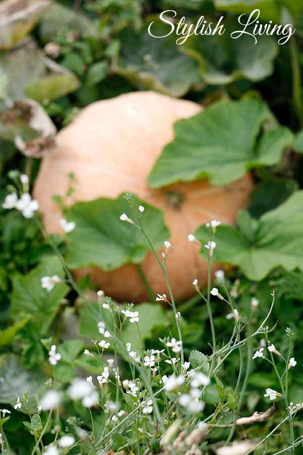 Gartenkürbis