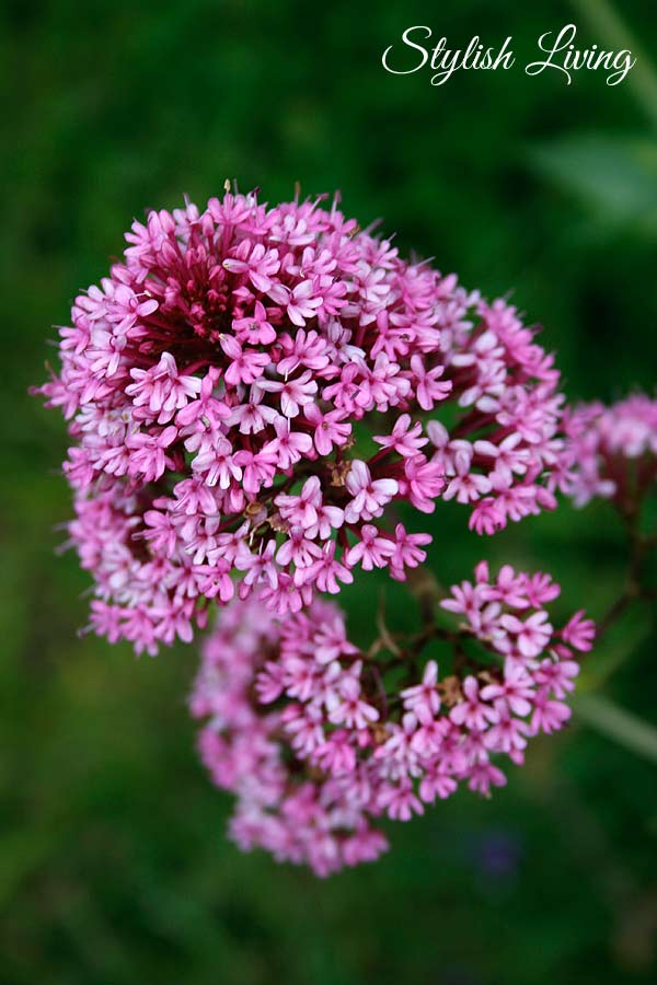 Blume auf der Halbinsel Crozon