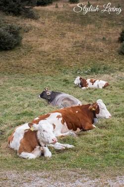 Kühe auf der Plose