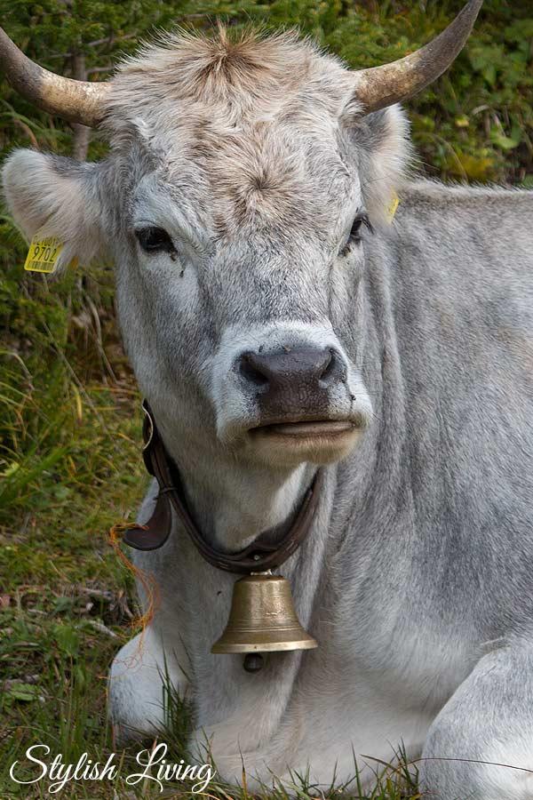 graue Kuh in den Geislern