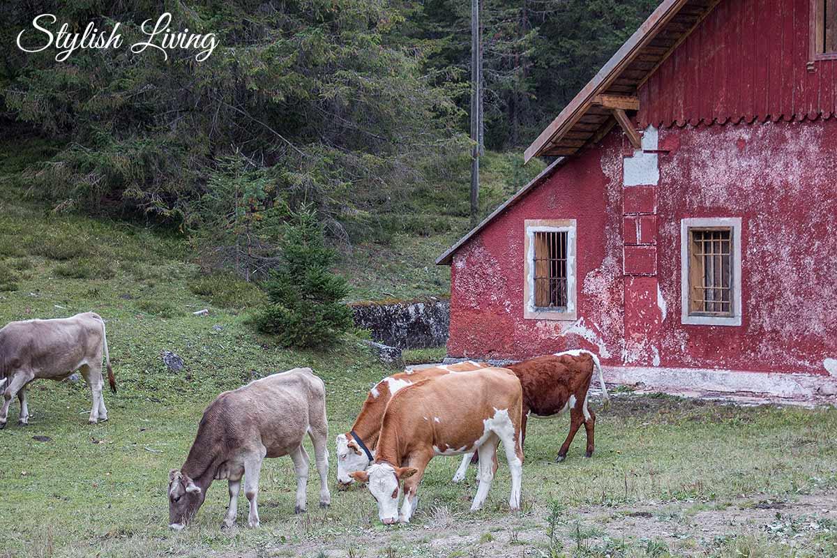 Kühe Südtirol