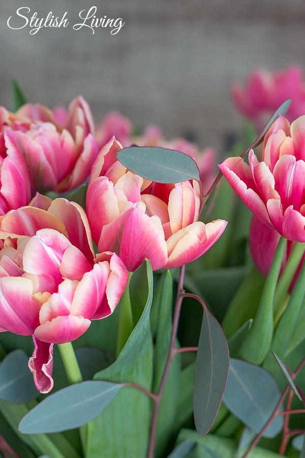 gefüllte Tulpen in pink
