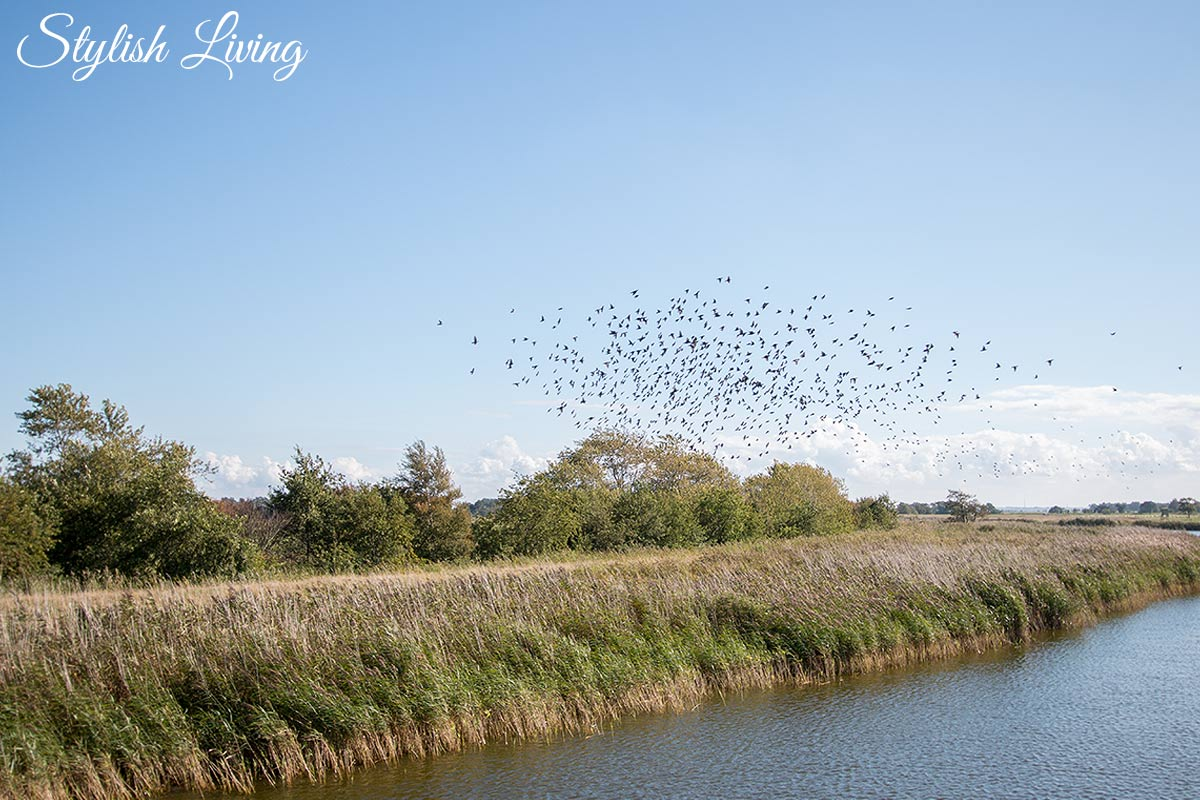 fliegende Vögel am Darßer Bodden