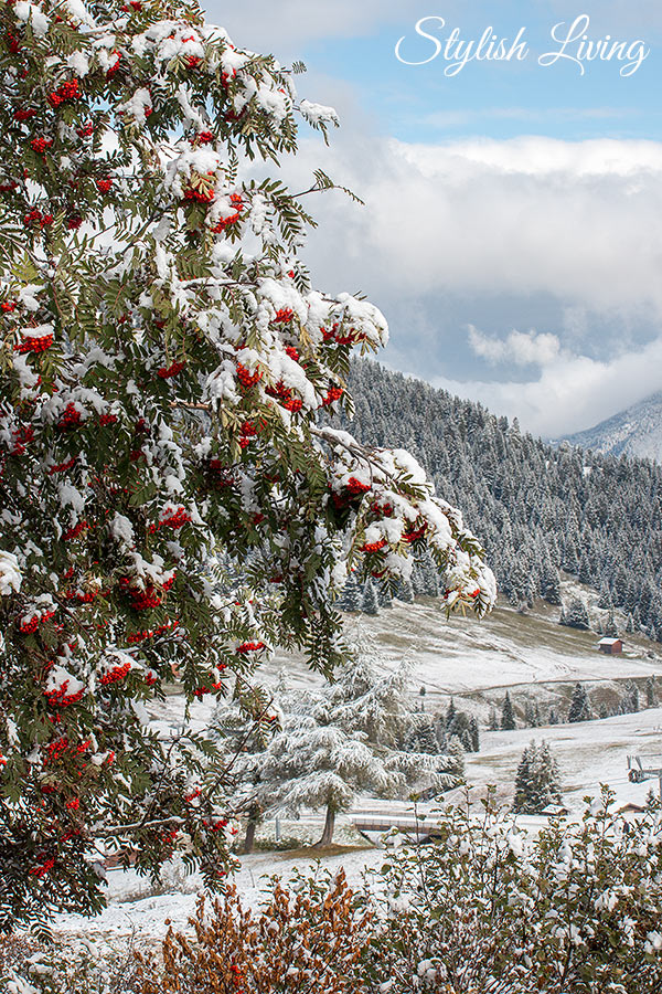 Vogelbeerstrauch mit Schnee behangen
