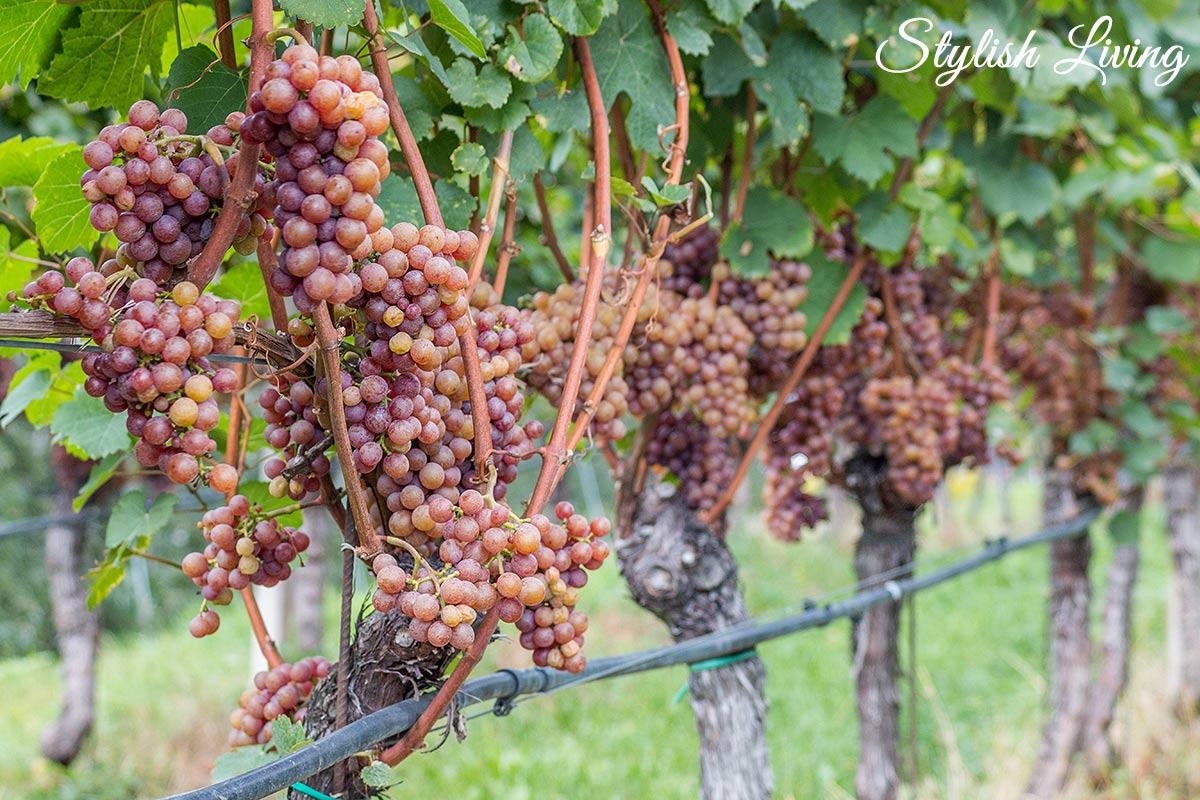 Weintrauben am Rebstock in Kaltern am See
