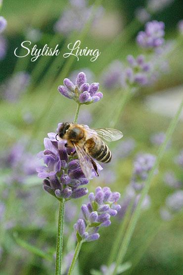 Bienen lieben Lavendel