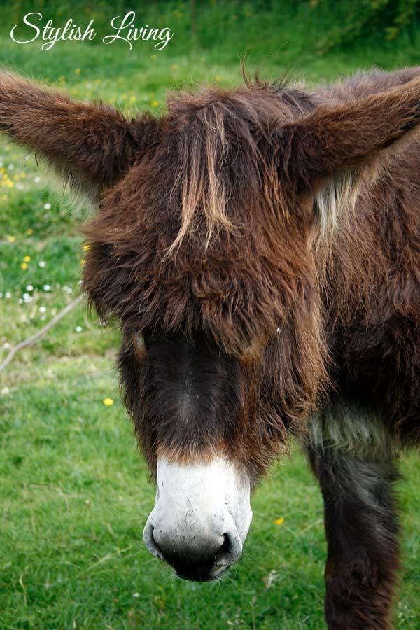 Esel auf der Halbinsel Crozon