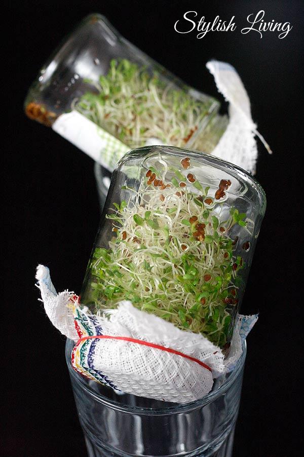 Alfalfa-Sprossen im Glas
