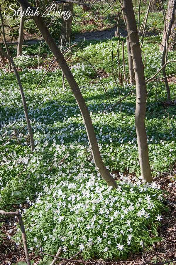 weiße Frülingsblumen