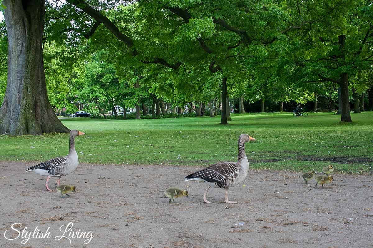 Gänsefamilie im Eichenpark Hamburg
