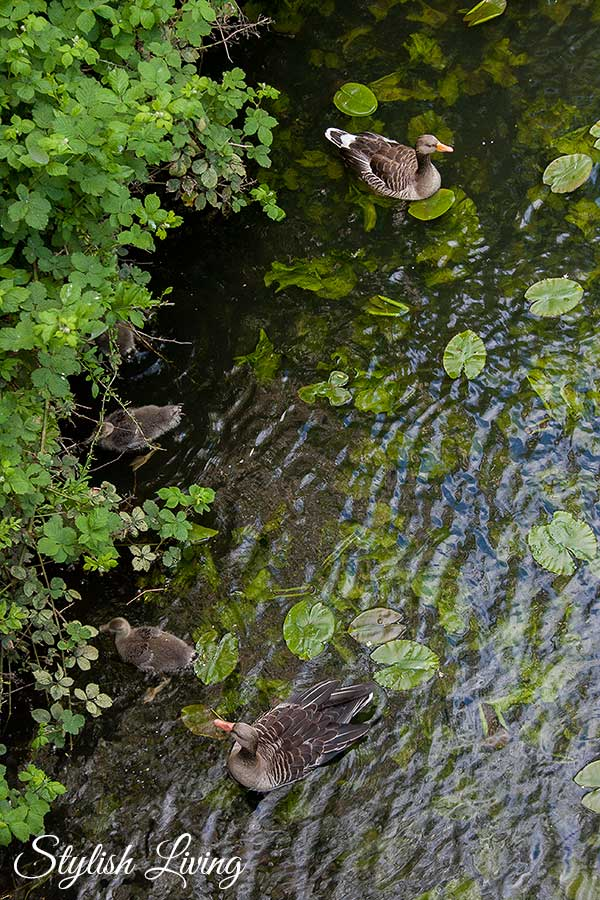 Wildgänse im Wasser