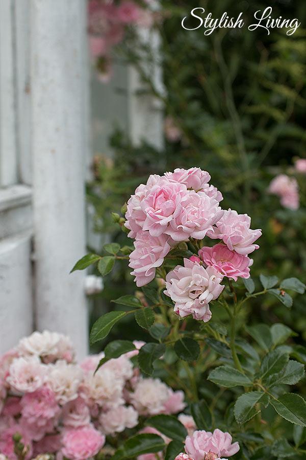 Rosenblüte vorm Wintergarten