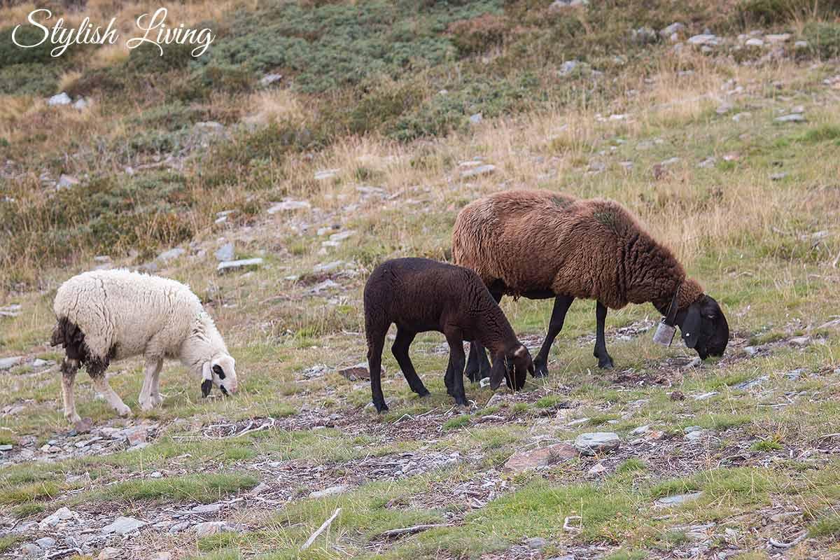 Schafe auf dem Brixner Höhenweg