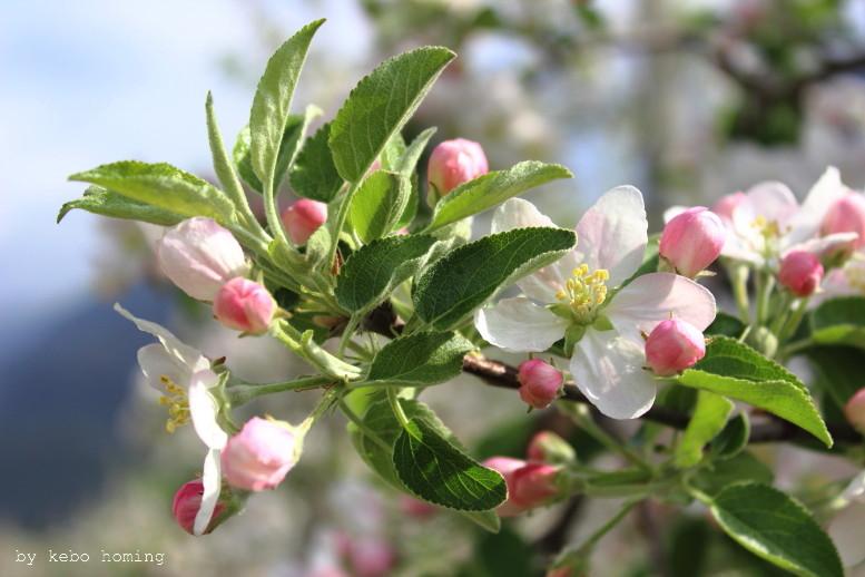 Apfelblüte von Kebo