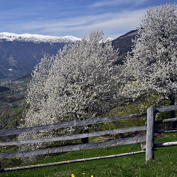Kirschbäume von Siglinde