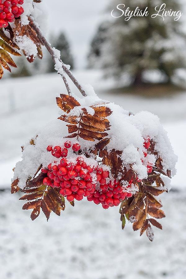 Vogelbeeren mit Schnee bedeckt