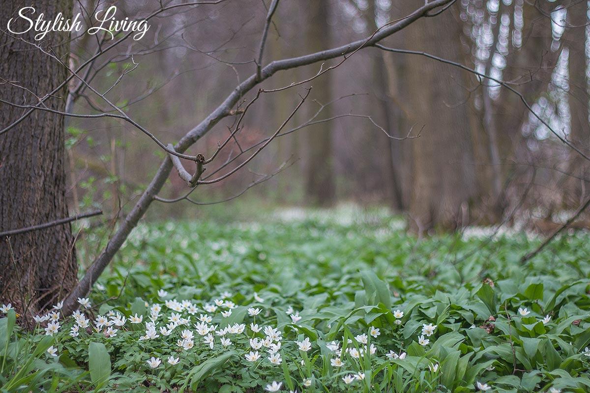 Bärlauch sammeln im Wald