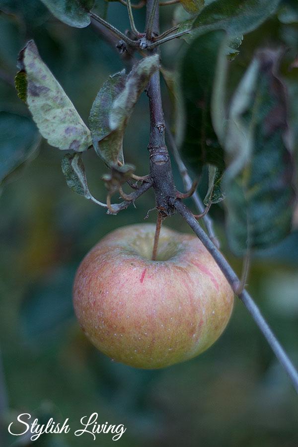 Apfel im November