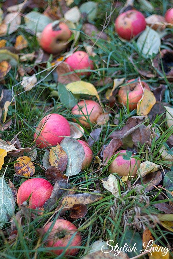 Apfelernte im November in Lieblingsomas Garten