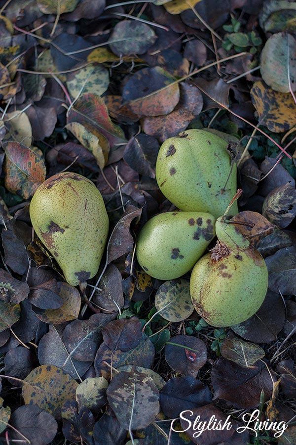 Birnen im November in Lieblingsoma Garten
