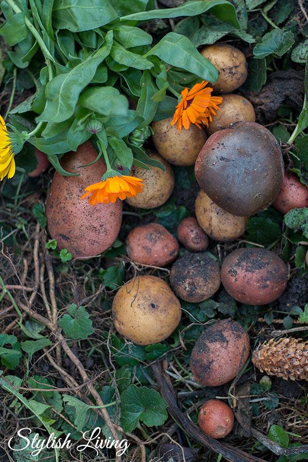 Kartoffeln und Ringelblumen aus Lieblingsomas Garten