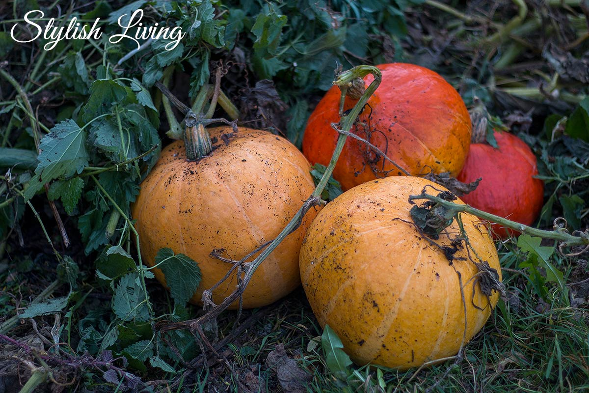 Kürbisernte im November in Lieblingsomas Garten
