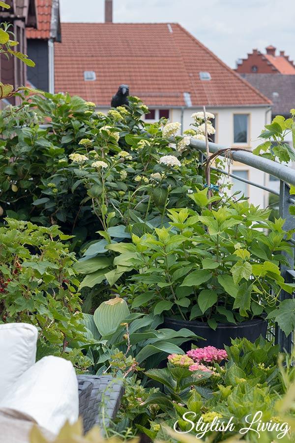 Dachterrasse gestalten mit Pflanzen - Hortensien, Funkien, Johannisbeeren