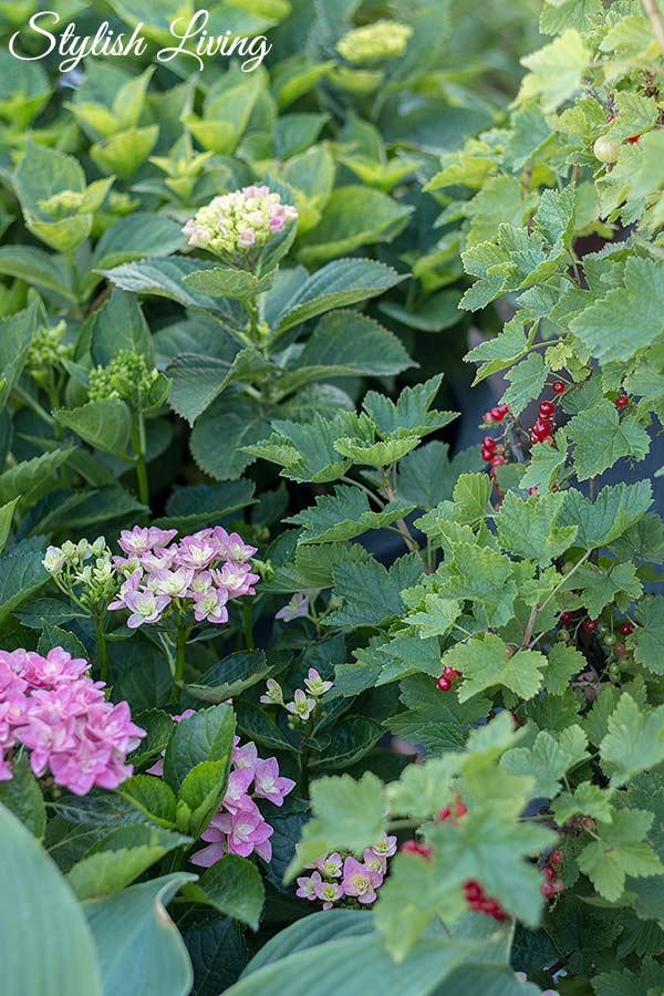 Dachterrasse gestalten mit Pflanzen - Hortensien, Funkien und Johannisbeeren