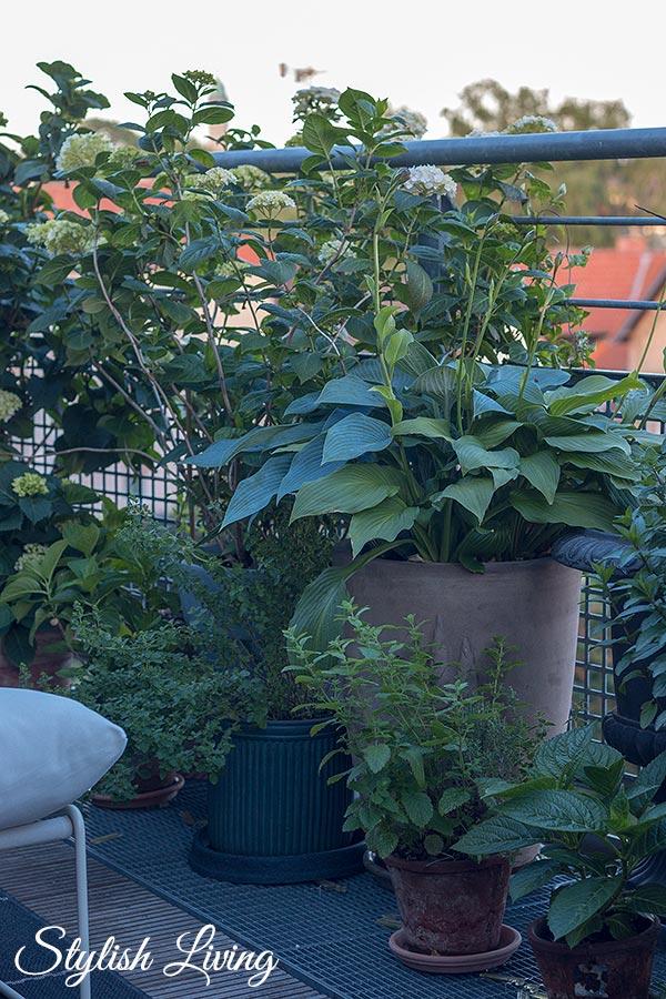 Dachterrasse gestalten mit Pflanzen - Hortensien, Funkien und Kräuter