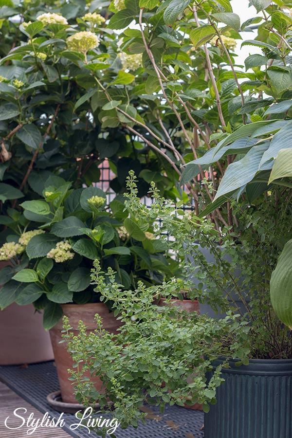 Dachterrasse gestalten mit Pflanzen - Hortensien, Kräuter und Funkien