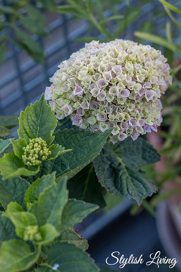 Dachterrasse gestalten mit Pflanzen - Hortensien