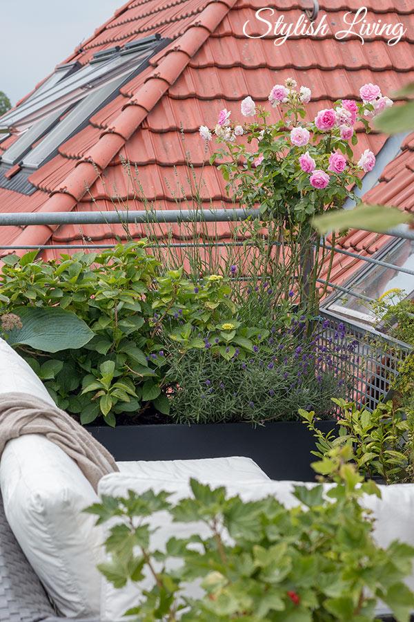 Dachterrasse gestalten mit Pflanzen - Rosen, Hortensien, Lavendel