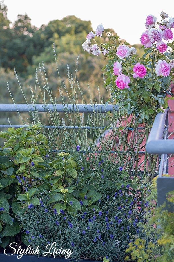 Dachterrasse gestalten mit Pflanzen - Rosen, Lavendel und Hortensien