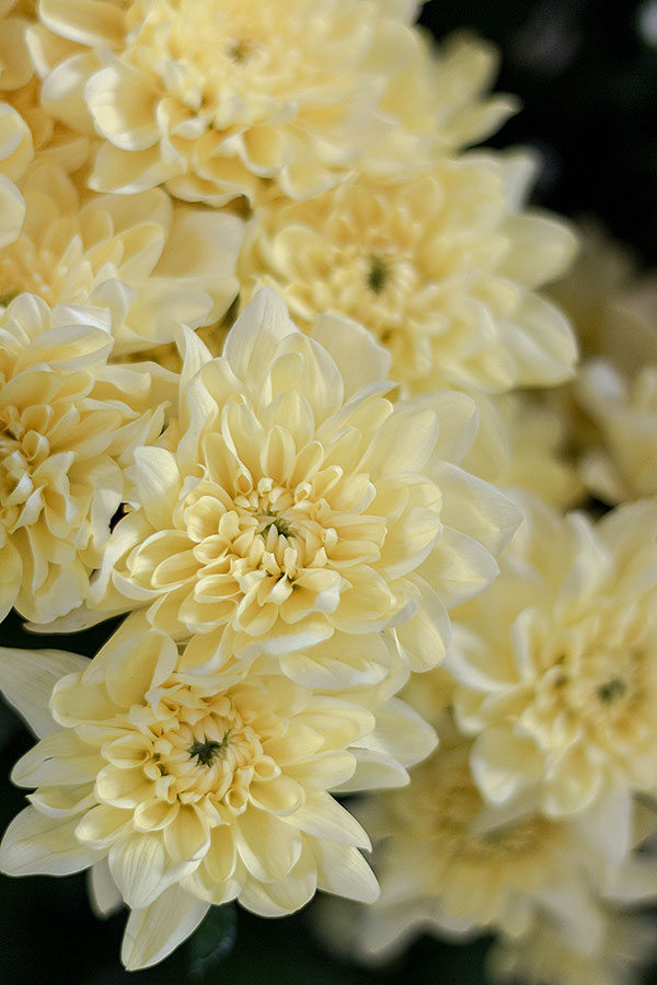 gelbe Spray-Chrysantheme Pina Colada