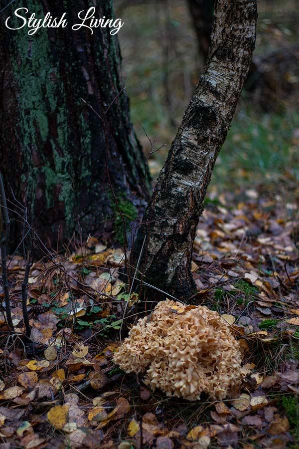 Krause Glucke im Wald